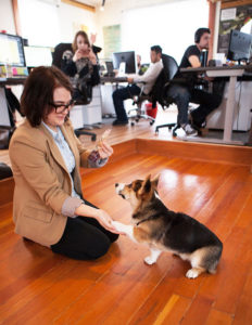 Corgi in the office