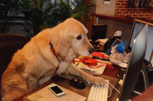 Labrador at Desk