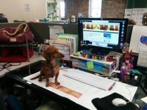 Dashaund hard at work