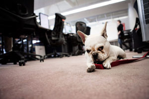 French Bulldog in office