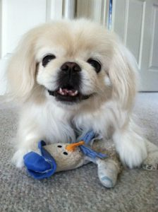 happy pekinese