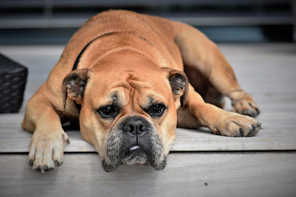 Sad Mastiff