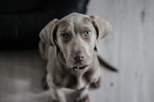 Weimaraner looking sad