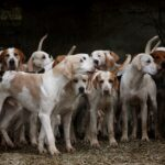 Pack of Beagles