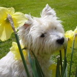 West Highland In Daffs