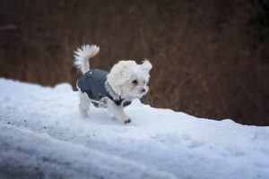 Pomeranian in a coat