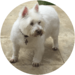 Dolly The Westie